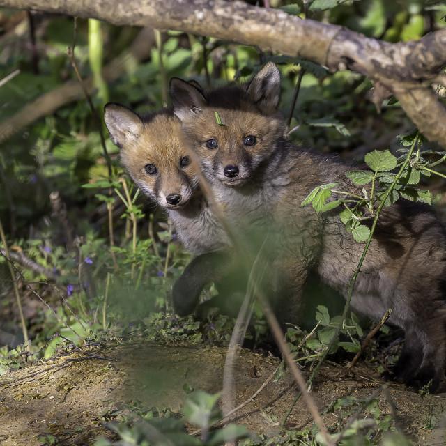 """fox cubs"" stock image"