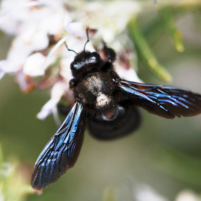 """The Carpenter Bee"" stock image"