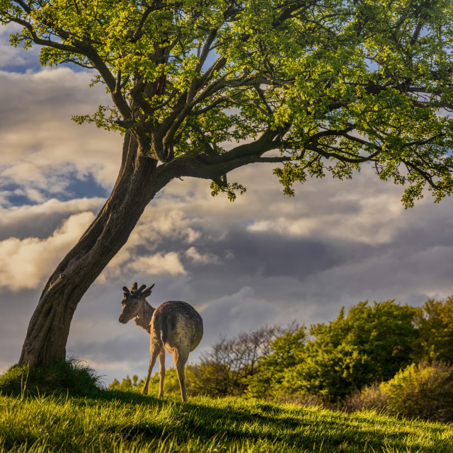 """""""The Lonesome Deer"""" stock image"""