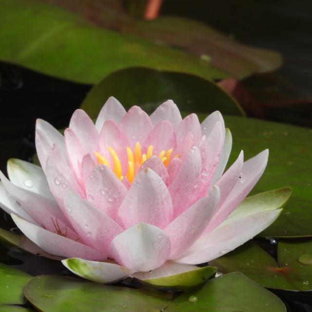 """Pink Rain-Kissed Waterlily"" stock image"
