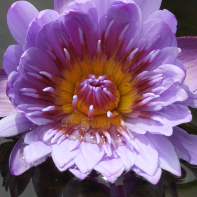 """Purple and Yellow Waterlily closeup"" stock image"