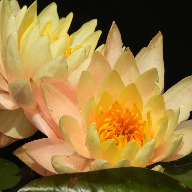 """""""Double Cream-Colored Waterlilies"""" stock image"""