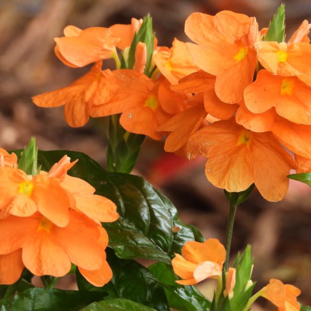 """""""The Firecracker Flower"""" stock image"""