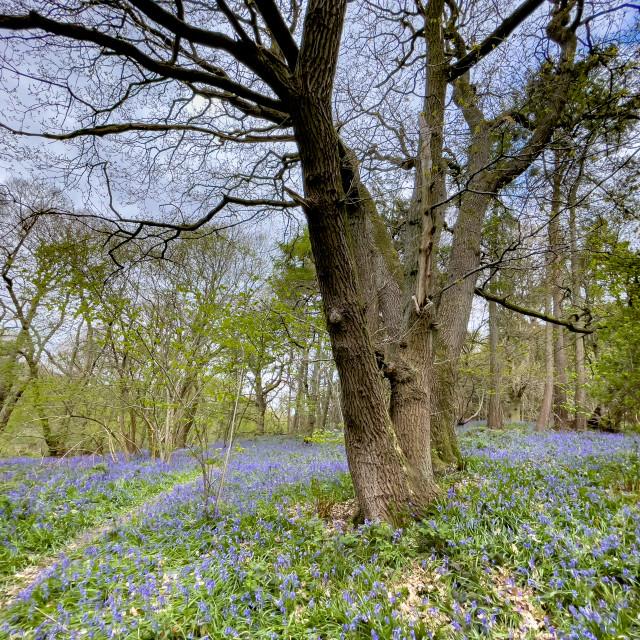 """Bluebells in Middleton Woods, Ilkley, Yorkshire."" stock image"