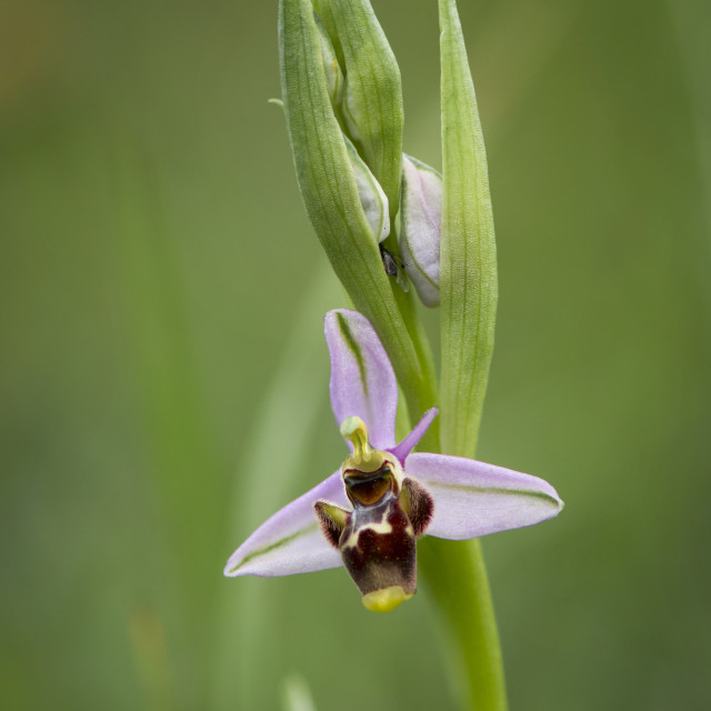 """""""Ophrys picta"""" stock image"""