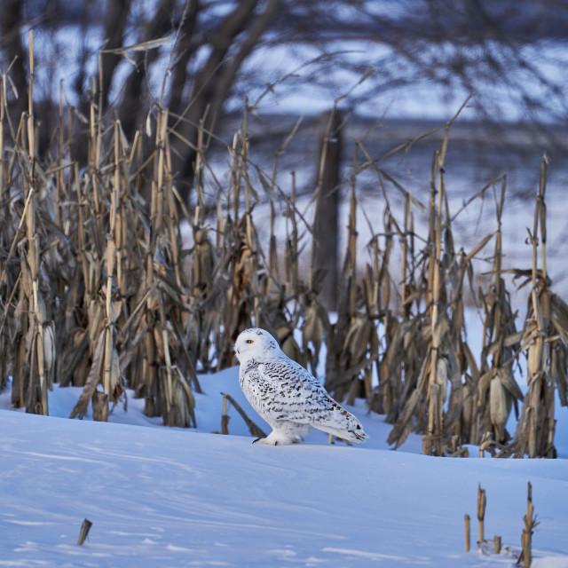 """Snow Owl"" stock image"