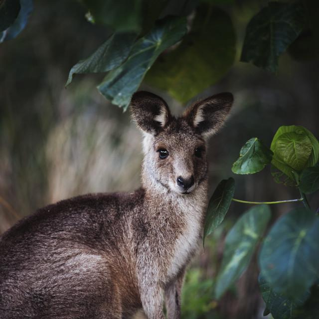 """Kangaroo Way 0313"" stock image"