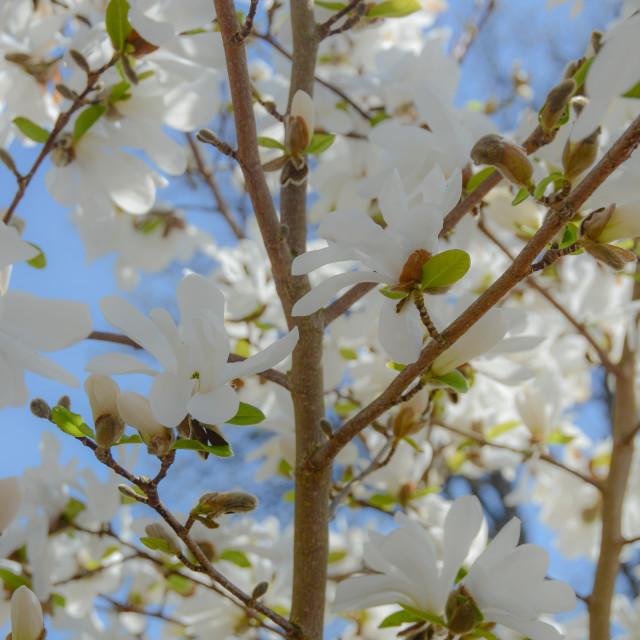 """Lots of Magnolia"" stock image"