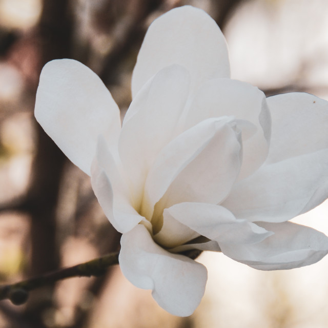 """""""A lovely Magnolia"""" stock image"""