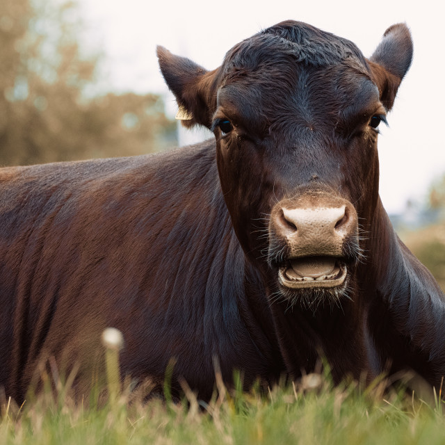 """""""A resting Cow from Jesus Green, Cambridge UK."""" stock image"""