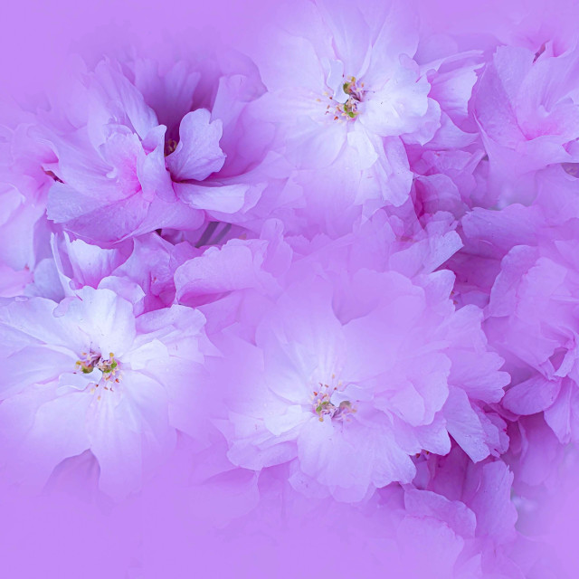 """""""Blossoms in Mauve"""" stock image"""