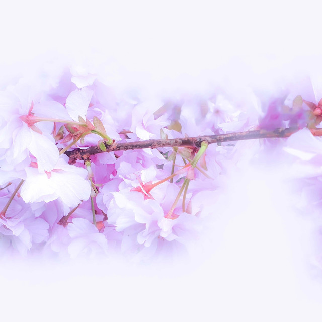 """""""Pink Blossoms on a Tree Branch"""" stock image"""
