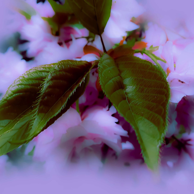 """""""Pink Blossoms and green Leaves"""" stock image"""