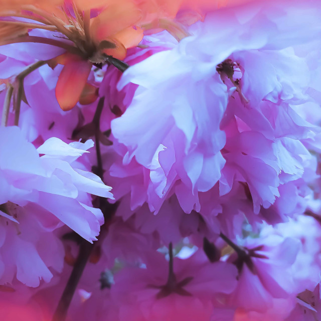 """""""Pink Blossoms"""" stock image"""
