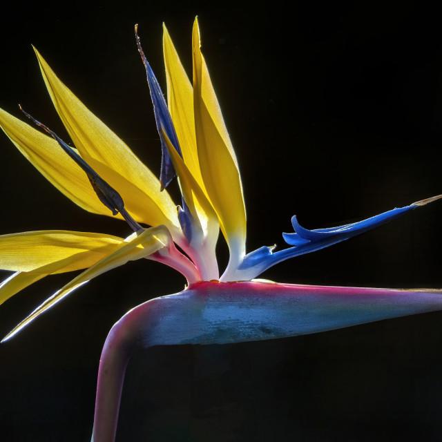 """Bird of paradise flower"" stock image"