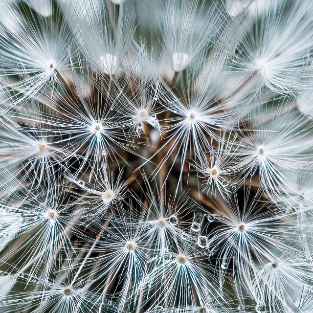 """""""Dandelion seed head in macro."""" stock image"""