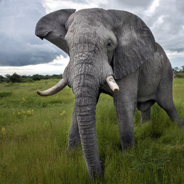 """""""Elephant encounter"""" stock image"""