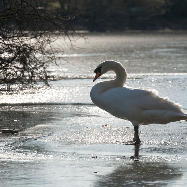 """winter swan silhouette"" stock image"