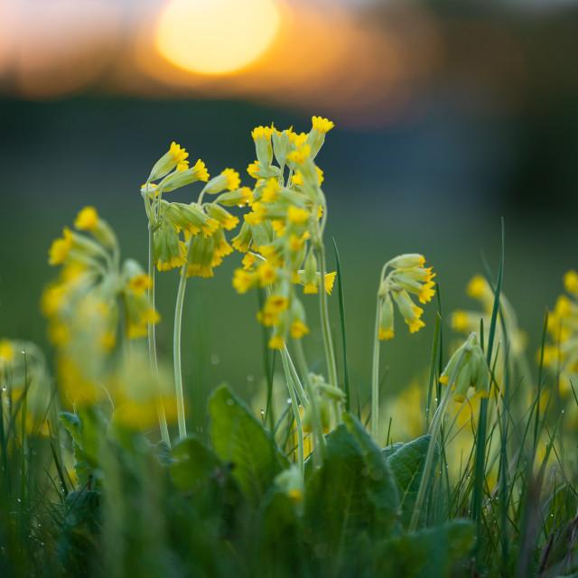 """Sunsetflowers"" stock image"