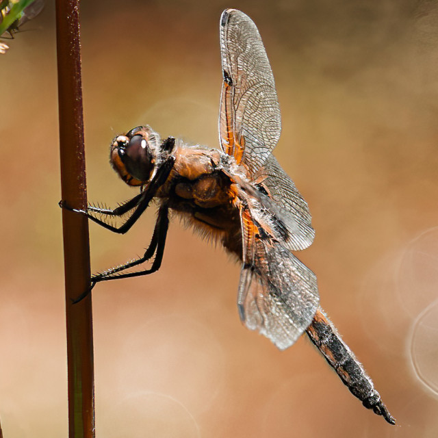 """""""A Dragonfly from The River Cam, Cambridge UK."""" stock image"""