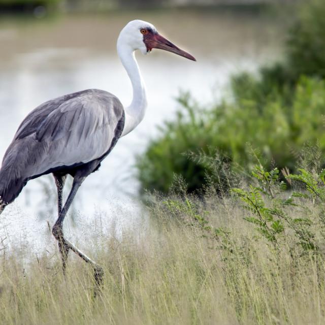 """Wattled Crane"" stock image"