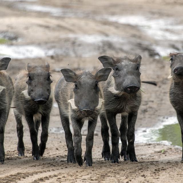 """""""Warthogs"""" stock image"""