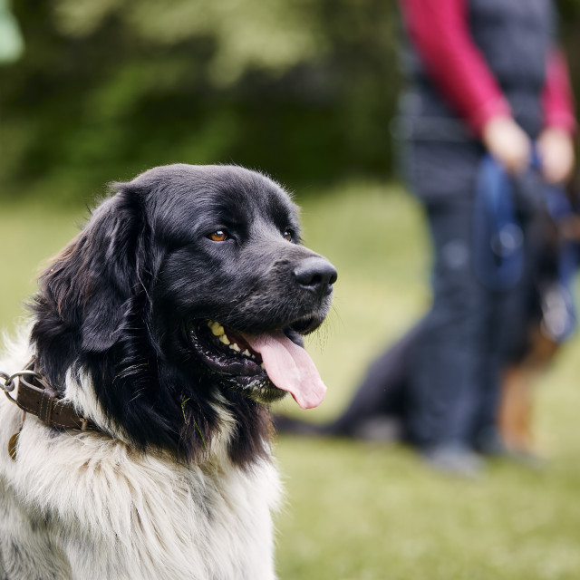 """""""Dog during obedience training"""" stock image"""