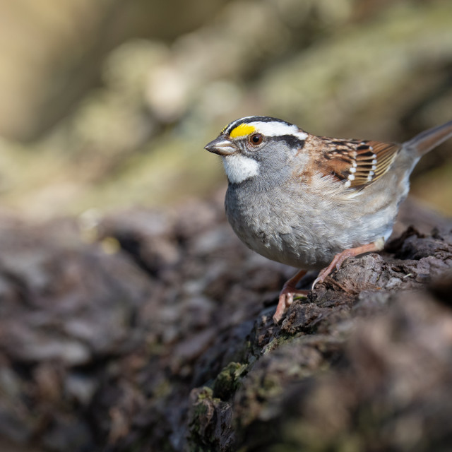 """""""White-throated Sparrow Perched on Log in Toronto, Ontario"""" stock image"""