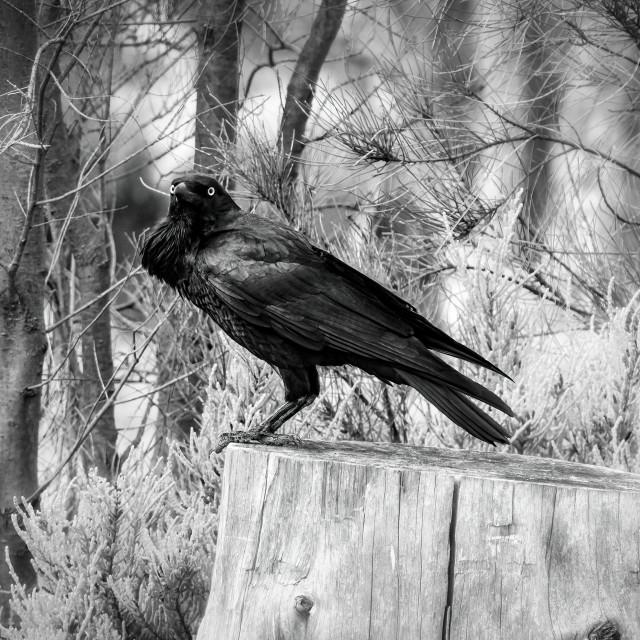 """Australian Raven"" stock image"