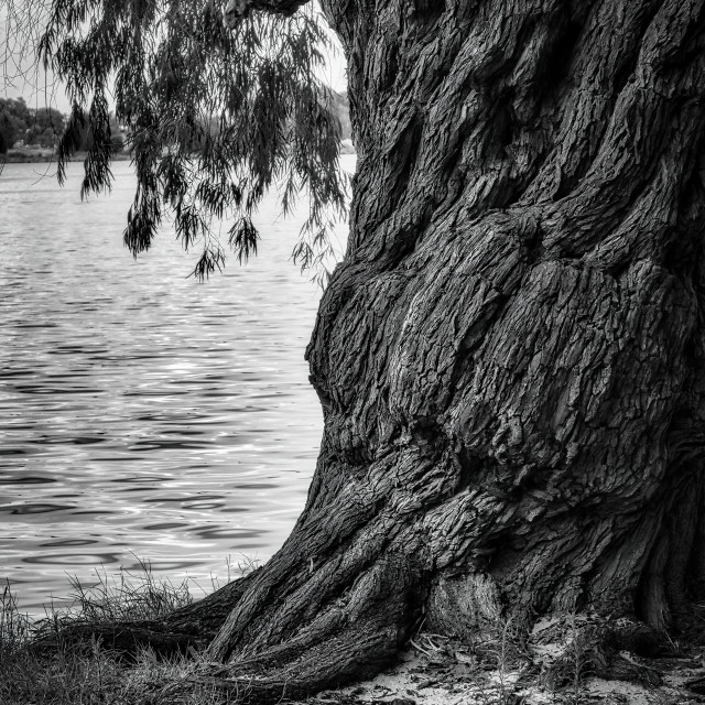 """""""Stout Peppermint Tree by a River"""" stock image"""