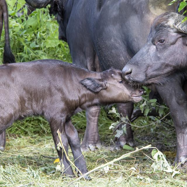 """Buffalo Calf"" stock image"
