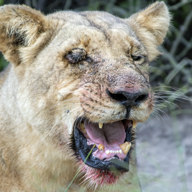"""""""Lion after a though night"""" stock image"""