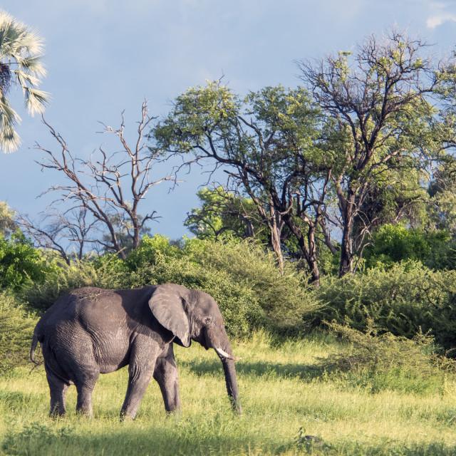 """""""Okavango Elephant"""" stock image"""