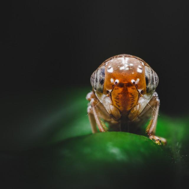 """""""Closeup of a Mango Leafhopper"""" stock image"""