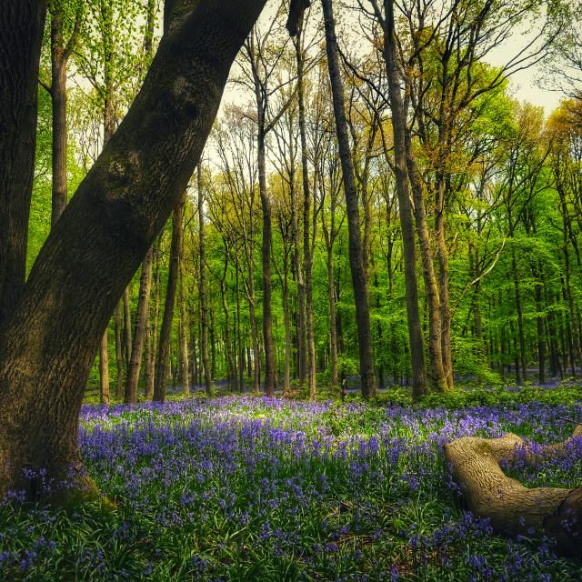 """Bluebell woods"" stock image"