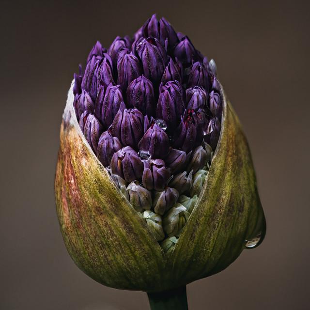 """Allium head ready to bloom."" stock image"