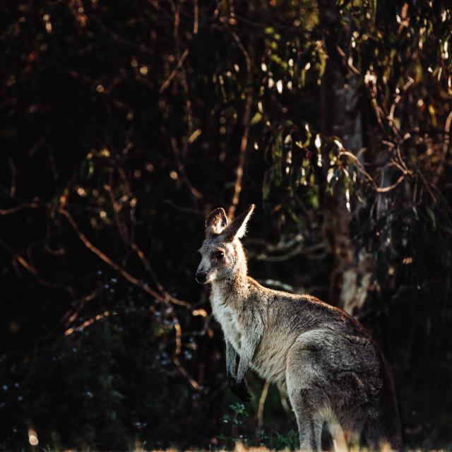"""Kangaroo Way 0314"" stock image"