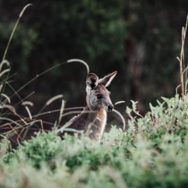 """Kangaroo Way 0315"" stock image"