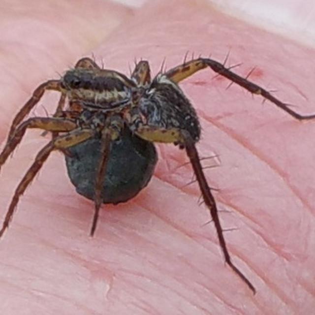 """Thin-legged Wolf Spider, Pardosa sp."" stock image"