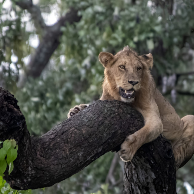 """""""Lion in tree"""" stock image"""