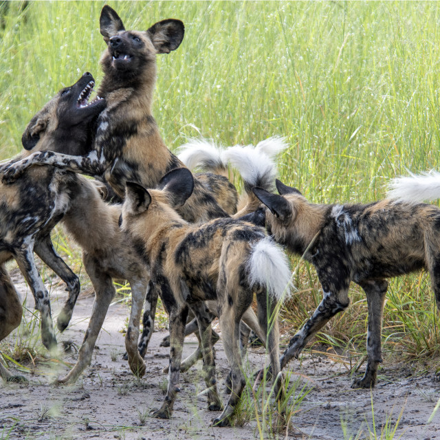 """""""African Wild Dogs"""" stock image"""