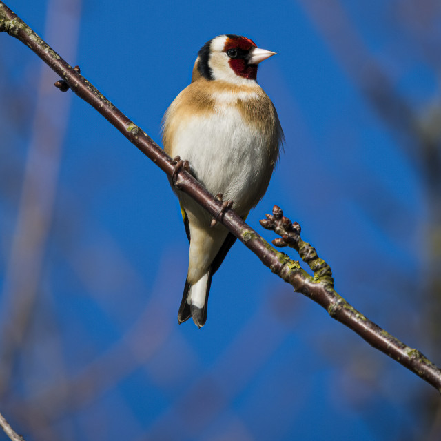 """""""Goldfinch perched on twig against blue sky"""" stock image"""
