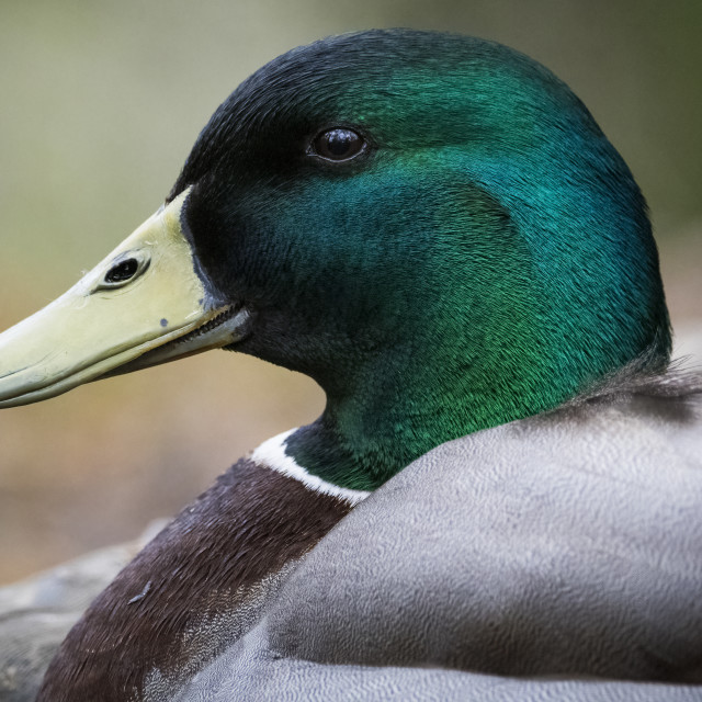 """""""Mallard in profile resting by pond in woodland"""" stock image"""