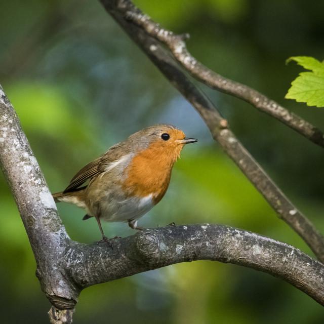 """Robin in evening sunlight against vibrant green backdrop"" stock image"