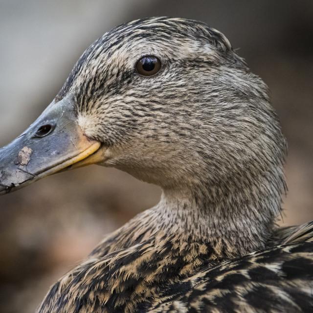 """Mallard portrait in the wild in Sussex wetlands"" stock image"