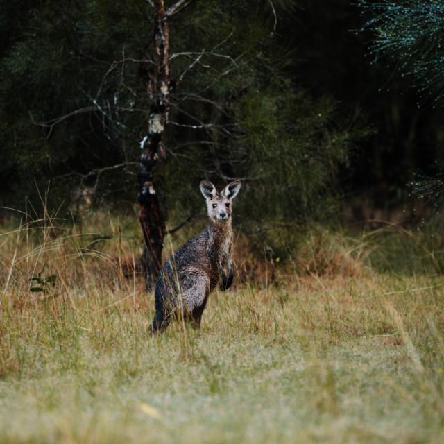 """Kangaroo Way 0316"" stock image"
