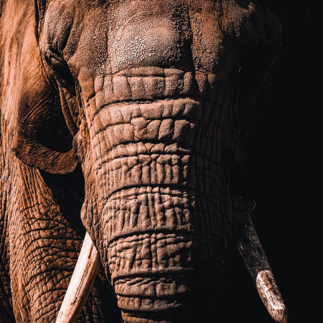 """""""Elephant from Colchester Zoo."""" stock image"""