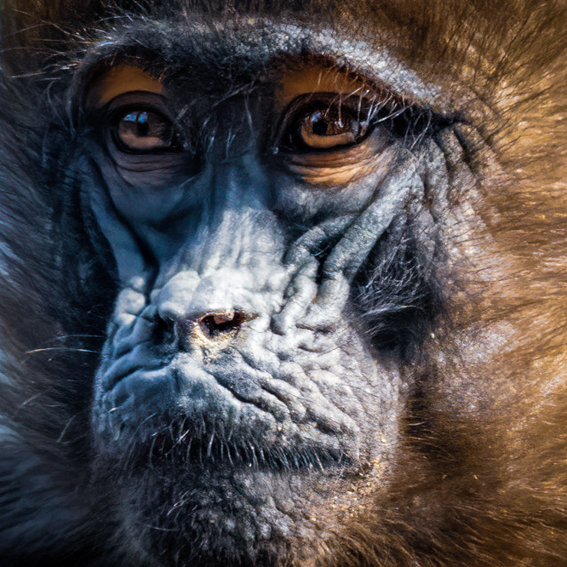 """""""Gelada Baboon from Colchester Zoo."""" stock image"""