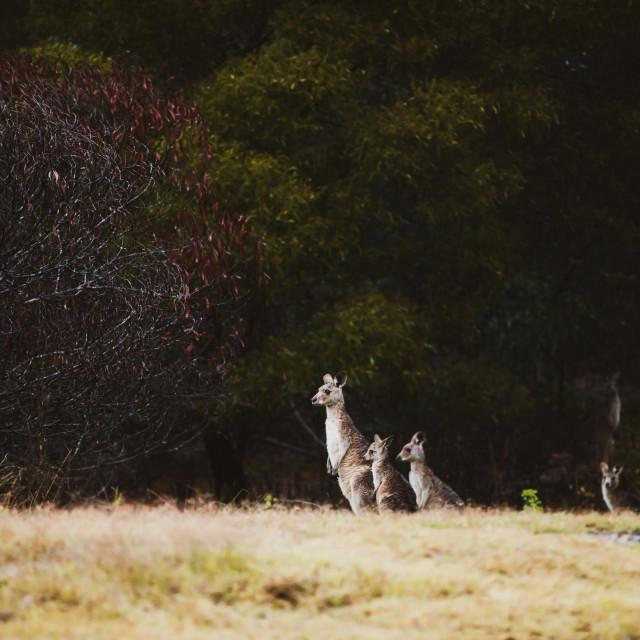 """Kangaroo Way 0317"" stock image"