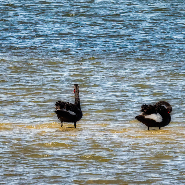 """""""Two Black Swans"""" stock image"""